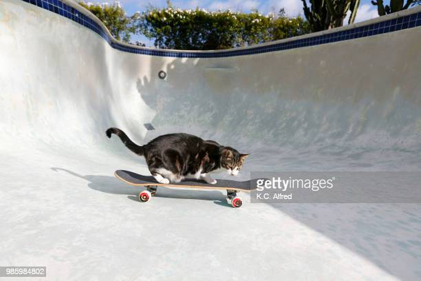 a cat rides a skateboard in an empty pool in san diego, california. - funny cats photos et images de collection