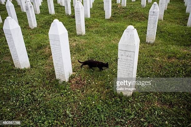 A cat roams between the grave stones of victims of Srebrenica Massacre on July 9 2015 at the Srebrenica Potocari Memorial and Cemetery at Potocari...