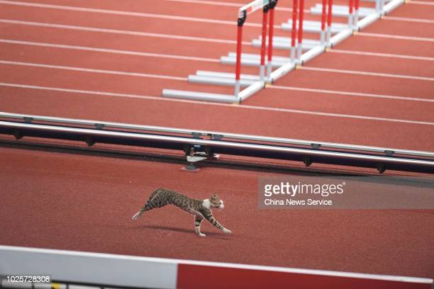 A cat runs on track prior to Athletics Women's 100 Hurdles Qualification on day seven of the Asian Games on August 25 2018 in Jakarta Indonesia