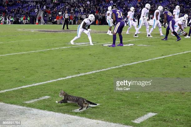 A cat runs onto the field late in the fourth quarter of the Baltimore Ravens and Miami Dolphins game at MT Bank Stadium on October 26 2017 in...