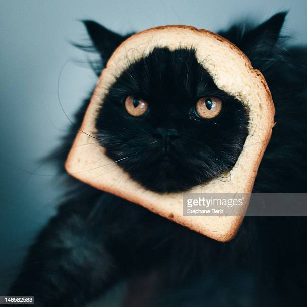 cat sandwich - funny cats stock photos and pictures