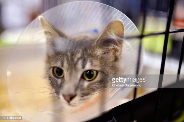 A cat seen at the adoption center at CatCon Worldwide 2018 at Pasadena Convention Center on August 4 2018 in Pasadena California