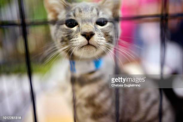 A cat seen in the adoption center CatCon Worldwide 2018 at Pasadena Convention Center on August 4 2018 in Pasadena California