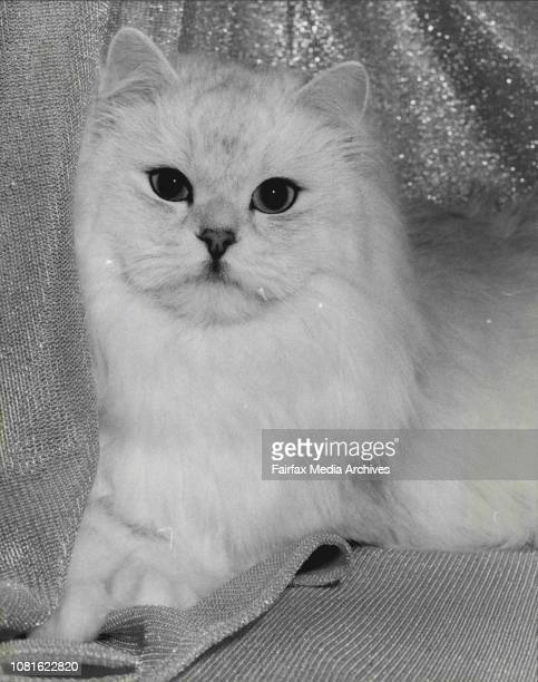 Cat show at the lower town hallMajorca San Mendez 18 months old Chinchilla owned by Alison Connor of Newcastle The cat won the best Junior Male...