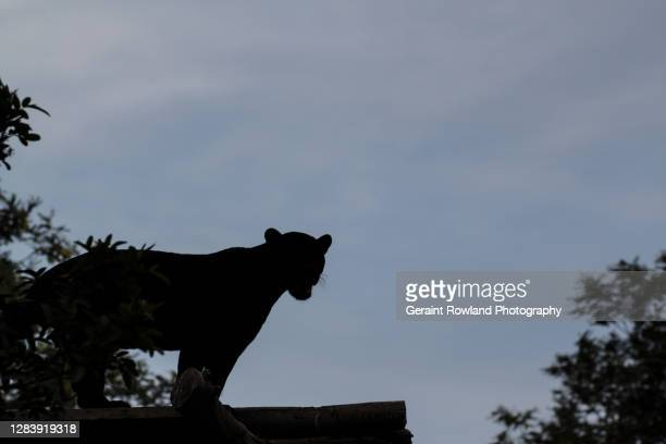 cat sighting, uk - domestic cat stock pictures, royalty-free photos & images