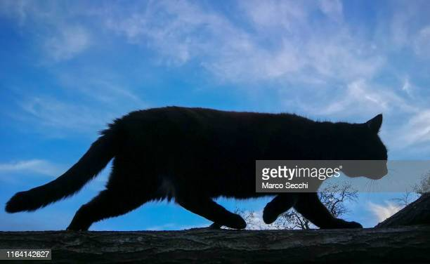 cat silhouette - marco secchi stock photos and pictures