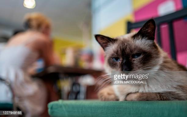 """Cat sits in a so-called """"Cat Cafe"""" in Berlin on August 7, 2020. - International Cat Day, or World Cat Day, created in 2002 by the International Fund..."""