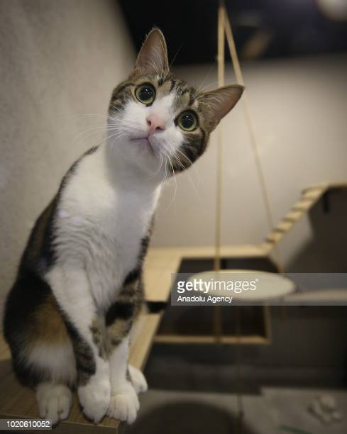 Cat sits on a shelf at a Cat Pet Hotel in Bursa, Turkey on August 21, 2018. Hotel has total of 32 separate standard, luxury and suit rooms for each...