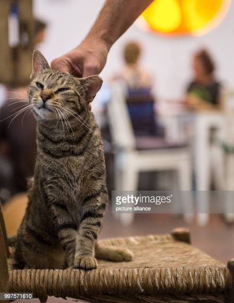 A cat sits on a stool happy being petted in the first ever Cat Café of Hamburg Germany 27 July 2017 After Nuremberg and Munich the city of Hamburg...