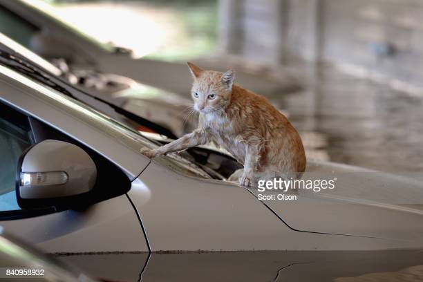A cat sits on top of a car which is surrounded by flood water in the parking lot of an apartment complex after it was inundated with water following...