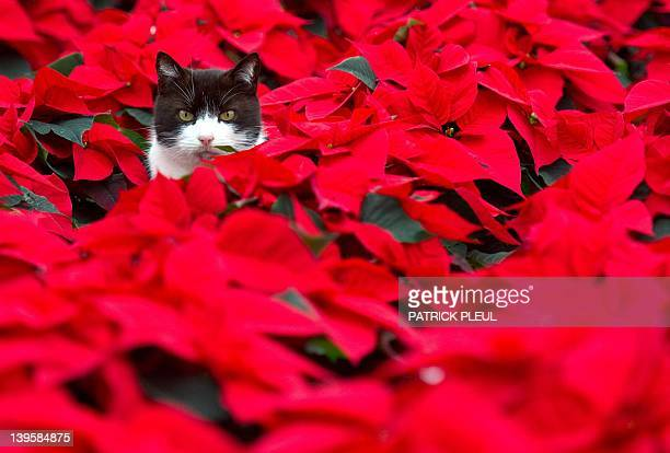 A cat sits sits amid of poinsettia plants in a greenhouse of a horticultural farm on November 18 2010 in Beeskow eastern Germany The plant...