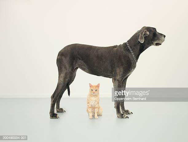 Cat sitting beneath Great Dane