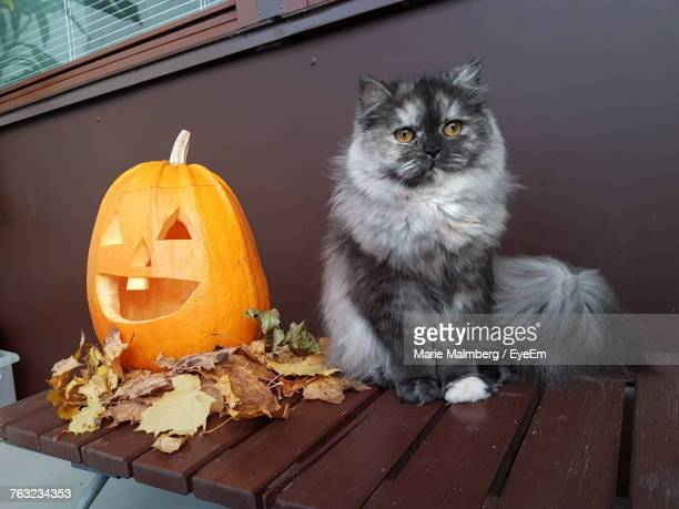 cat sitting by pumpkin on table during halloween - pumpkin cats stock pictures, royalty-free photos & images