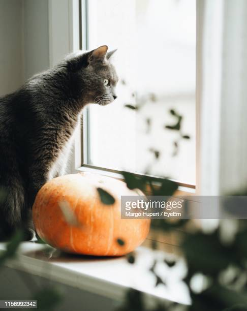 cat sitting by pumpkin on window sill - pumpkin cats stock pictures, royalty-free photos & images