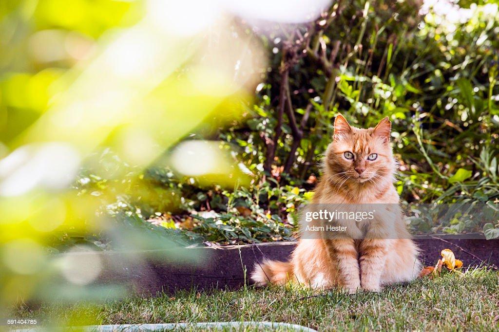 Cat sitting in backyard grass : Stock-Foto