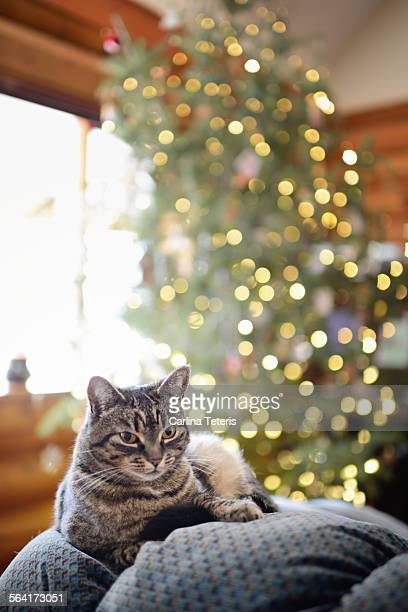 A cat sitting in front of a Christmas tree