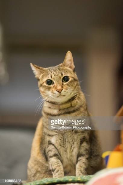 a cat sitting indoors - shorthair cat stock pictures, royalty-free photos & images