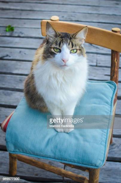 cat sitting on a chair - radicella stock photos and pictures