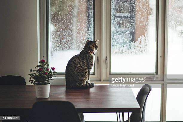 cat sitting on a dining table looking outside by window