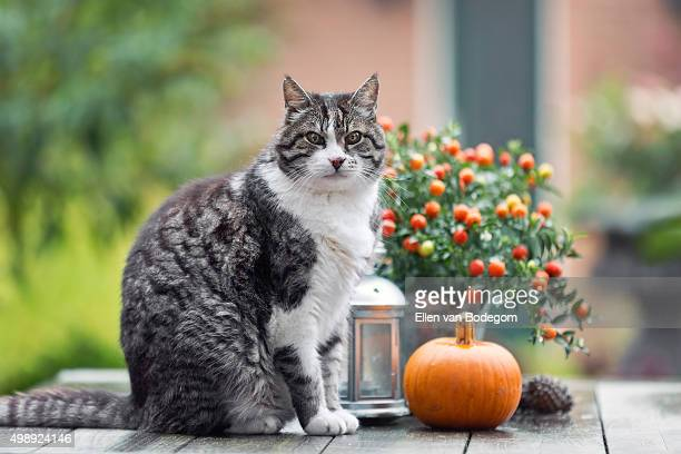 cat sitting on garden table - pumpkin cats stock pictures, royalty-free photos & images