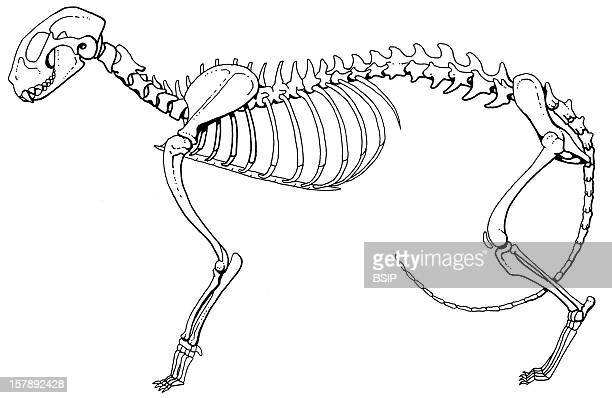Cat Skeleton Lateral View Of A Cat Skeleton