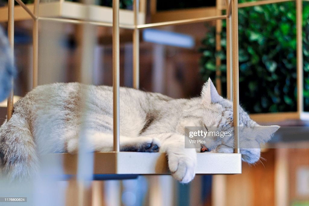 A Cat Sleeping In A Cat Cafe Asakusa Tokyo Japan News Photo Getty Images