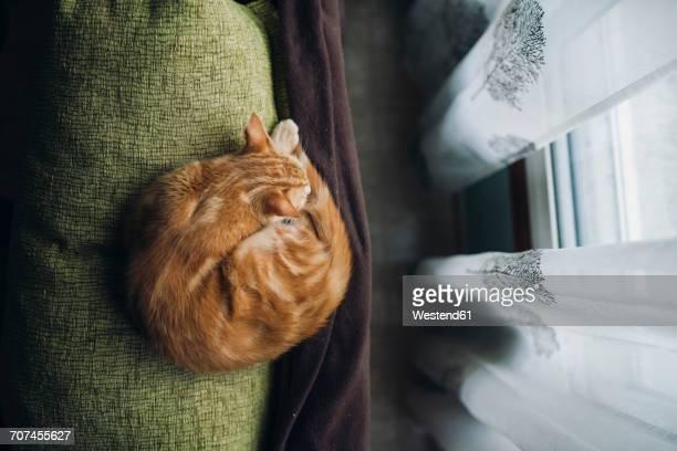 cat sleeping on backrest of a couch - enroscado - fotografias e filmes do acervo