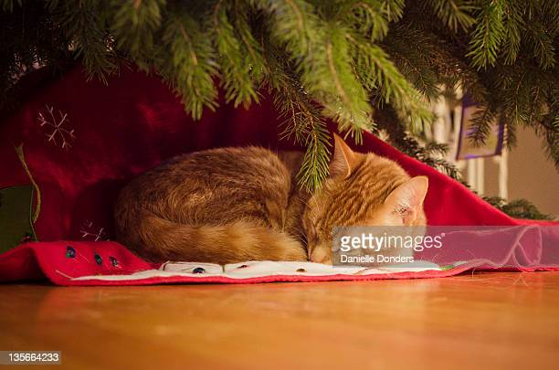 """cat sleeping under christmas tree - """"danielle donders"""" stock pictures, royalty-free photos & images"""