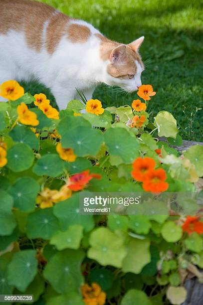 Cat smelling blossoms of nasturtium in the garden
