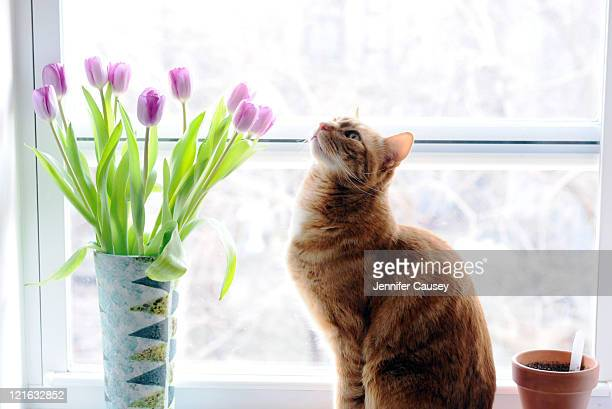 Cat smelling tulips
