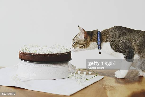 Cat sniffing a cake