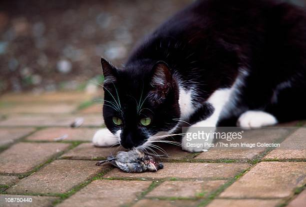 cat sniffing a dead bird - puss pics stock photos and pictures
