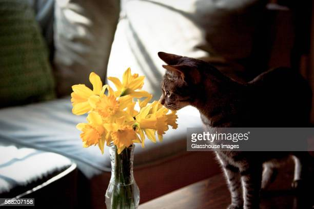 Cat Sniffing Daffodils in Vase