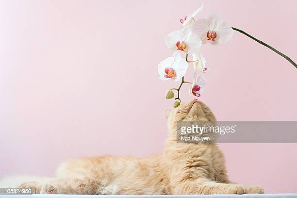 Cat sniffing  orchid flower