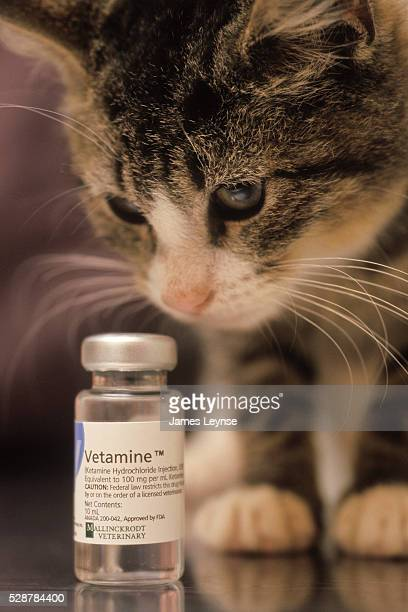 A cat sniffs at a bottle of Ketamine sold under the brand name Vetamine and made by Mallinckrodt Veterinary The drug is sold illegally on the street...