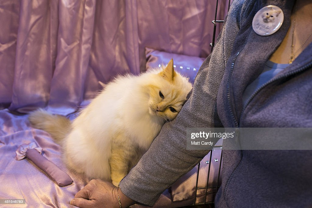 Owners And Their Pets Gather For The Annual Supreme Cat : News Photo