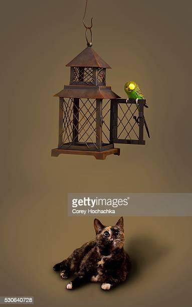 Cat Stalking Budgerigar