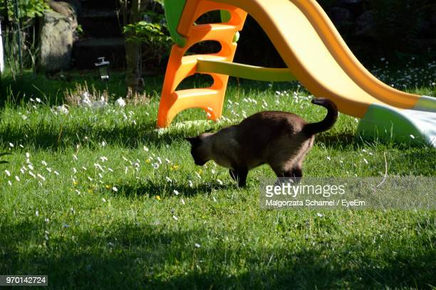 cat standing on grassy field at playground - black siamese cat stock pictures, royalty-free photos & images