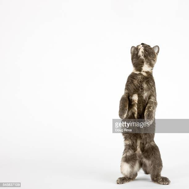 Cat standing on hind legs