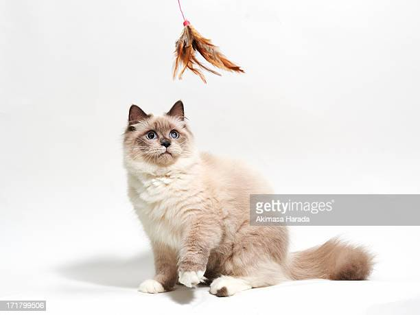 cat stare at toy - ragdoll cat stock pictures, royalty-free photos & images