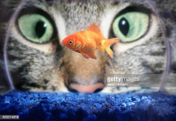 cat staring at goldfish - temptation stock pictures, royalty-free photos & images