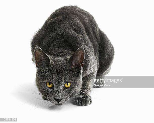 cat staring - animales cazando fotografías e imágenes de stock