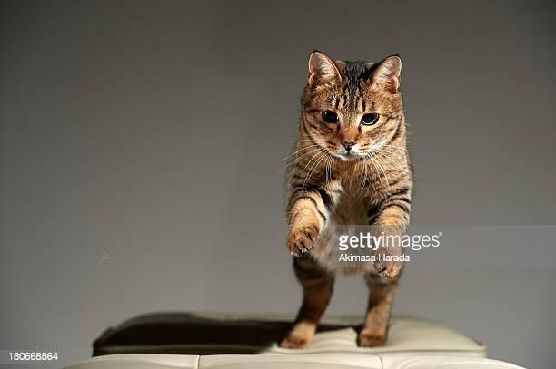 cat starting jump to stool