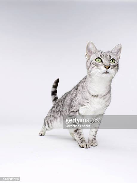Cat Striking a Crouched Pose