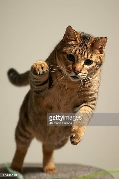cat to pounce - animales cazando fotografías e imágenes de stock