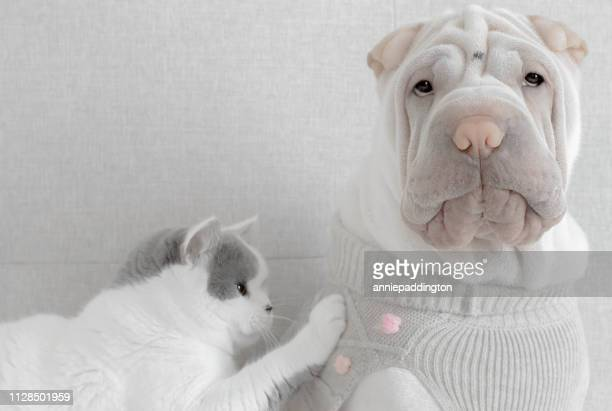 cat touching a shar-pei puppy dog wearing a sweater - pet clothing stock pictures, royalty-free photos & images