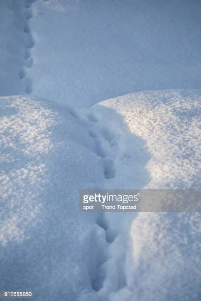 Cat tracks in the snow
