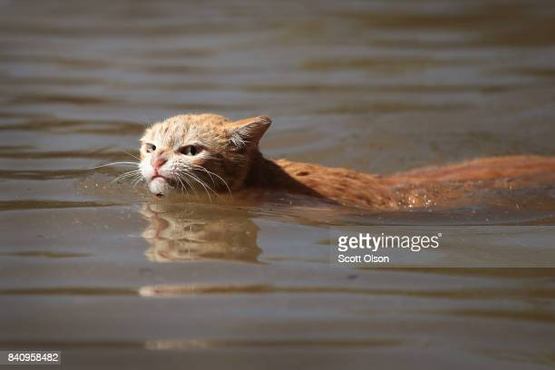 Cat tries to find dry ground around an apartment complex after it was inundated with water following Hurricane Harvey on August 30, 2017 in Houston,...