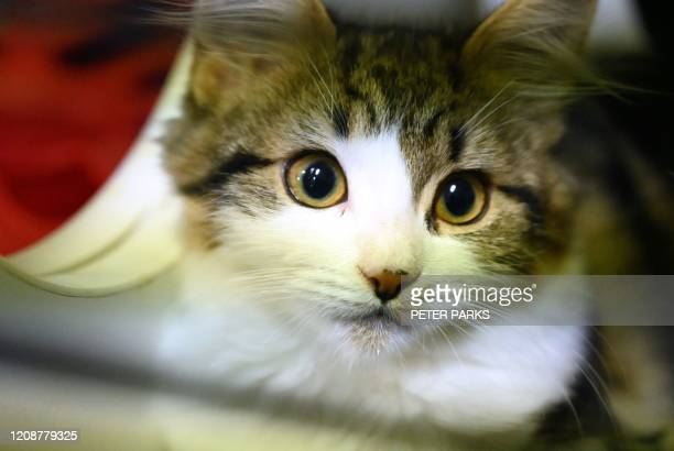 Cat waiting to be adopted looks out of its cage at the Royal Society for the Prevention of Cruelty to Animals Shelter and Veterinary Hospital in...