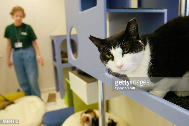 A cat waits in a adoption room on May 25 2004 at an American Society for the Prevention of Cruelty to Animals kennel in New York City The ASPCA has...